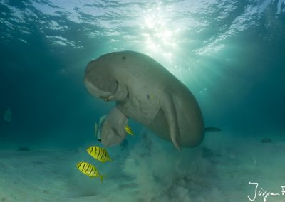 Dugong surfacing to take a breath of air.