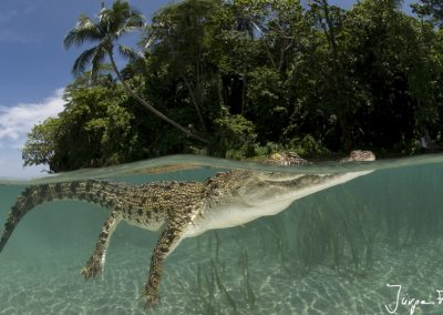 Saltwater crocodile split level in sandy shallows with island