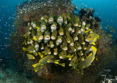 Schooling yellow-ribboned sweetlips surrounded by glassy sweepers.
