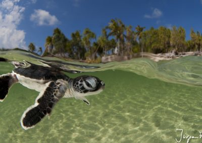 Baby green turtle hatchling swimming to the sea still in the shallows of the beach.