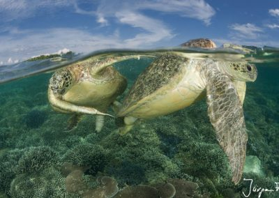 Split level of mating green turtles in the reef shallows