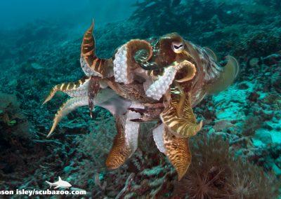 cuttlefish_001