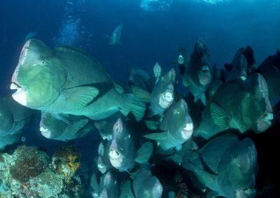 Underwater-Tour.-(c)-Stephen-WONG_Tourism-Malaysia-Bumphead-Parrotfirsh