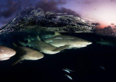 lemon-sharks-on-patrol-by-david-doubilet-w-