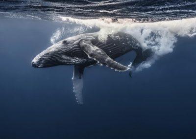 Greg Crow Tonga Humpback Whales 1155_2