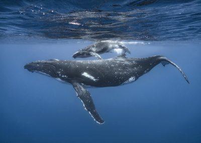 Greg Crow Tonga Humpback Whales 1836_1